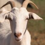 Farming Skyrange Goats 6,000g per hour