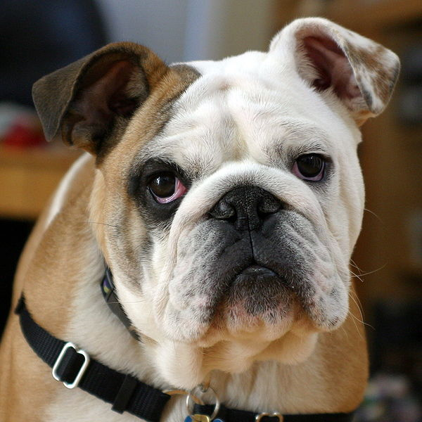Bulldog from Wiki Creative Commons